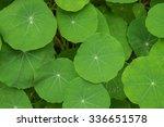 green nasturtium leaf... | Shutterstock . vector #336651578