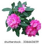 beautiful pink rhododendron   Shutterstock . vector #336663659