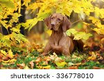 The Dog Breed Vizsla In Yellow...