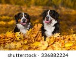 Two Bernese Mountain Dog In...