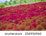 Mountain  Kochia Flowers At...