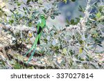 resplendent quetzal photo from... | Shutterstock . vector #337027814