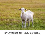 White Goat Grazing On A Green...