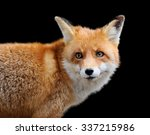 Portrait Red Fox On Dark...
