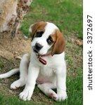 adorable st. bernard puppy - stock photo