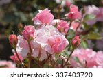 Stock photo amazing rose flowers at a park in santiago in chile 337403720