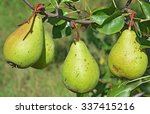 Green Pears On A Fruit Tree