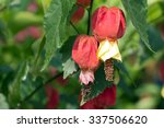 Small photo of Brazilian Bell Flower blooming(Abutilon megapotamicum)