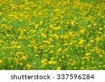 Mustard Plant Beautiful Yellow...