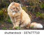 Gorgeous Red Cat Portrait