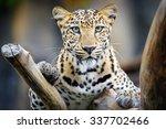 Leopard In Nature.