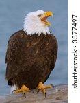 American Bald Eagle In Alaska...