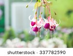 Bunch Of Blossoming Fuchsia On...