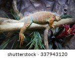 Small photo of Iguana Iguana is a large lizard moving. Painted in the color of the surrounding area. Iguanas head is covered with shields, the back is clothed with scales.