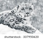 Frontal Portrait Of Snow...