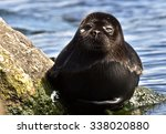 the ladoga ringed seal   pusa... | Shutterstock . vector #338020880