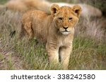 a young lion cub on the move.... | Shutterstock . vector #338242580