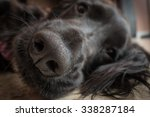 Detail Of Truffle Nose Of A...