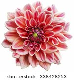 pink dahlia flower isolated on... | Shutterstock . vector #338428253