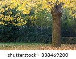 Under The Linden Tree In Autum...