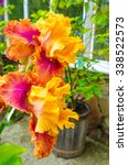 Colorful Irises Blooming In A...
