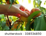 female hand picking peach from... | Shutterstock . vector #338536850