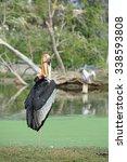 Small photo of Lesser adjutant stork Leptoptilos javanicus