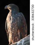 "Small photo of golden aegle ""Aquila chrysaetos"""