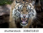 Angry Sumatran Tiger - Fine Art prints