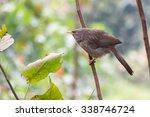Small photo of Jungle Babbler, Turdoides striata