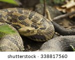 A large gravid female Timber Rattlesnake coils up outside its den on a southern exposed rocky hillside in the midwest.