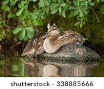 a couple of young mallard ducks ... | Shutterstock . vector #338885666
