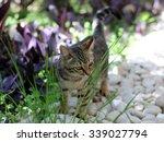 Little Kitten Eating Grass In...