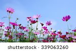 Beautiful Cosmos Flower Blooming