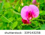Pink Sweet Pea Blooming In The...