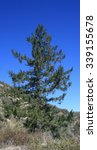 tall coulter pine  angeles... | Shutterstock . vector #339155678
