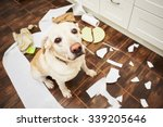 Stock photo naughty dog lying dog in the middle of mess in the kitchen 339205646