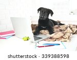 Stock photo clever young black labrador retriever on the office table 339388598