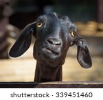 Stock photo funny goat head of silly looking black goat closeup portrait with shallow depth of field 339451460