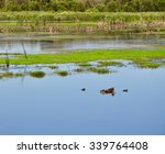 Western Australia Wetland Duck...