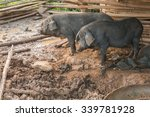 Black Pigs In The Pen.