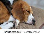 Stock photo young beagle sleep on pillow 339826910