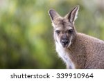 Kangaroo Of Australia. Close U...