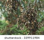 Western Monarch Butterfly...
