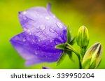 Violet Spring Flower With Dew...