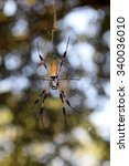 Small photo of Orb weaver spider