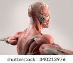 human anatomy showing face ... | Shutterstock . vector #340213976