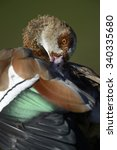 Small photo of Nile goose, Alopochen aegyptiacus