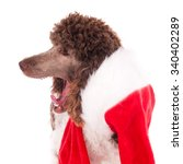 Standard Poodle With Open Mouth ...