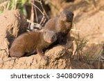 dwarf mongoose family enjoy the ...   Shutterstock . vector #340809098